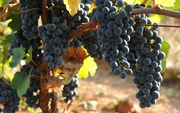 Kallmet-grape